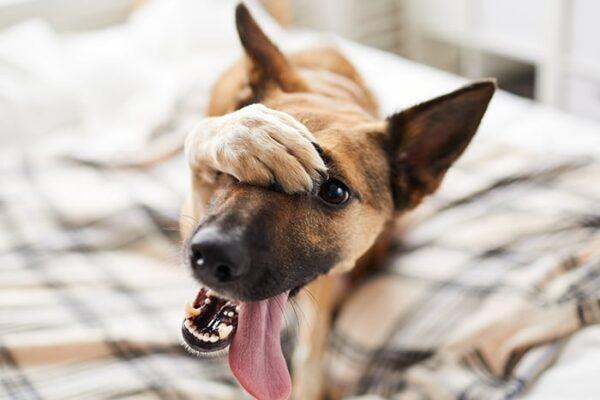 embarassed-dog-on-bed-SA2BDZW